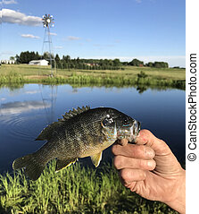bluegill, pescatore, presa a terra