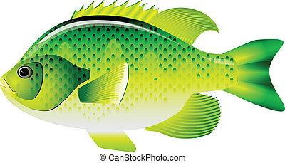 bluegill, sunfish