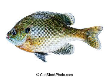 Bluegill sunfish, Lepomis Macrochirus, isolated on white