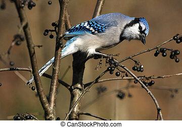 Bluejay Cyanocitta cristata