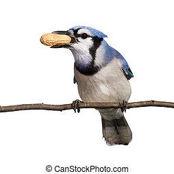 bluejay displays his tasty peanut treat