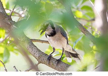 Bluejay Hidden in a Tree