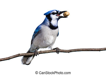 bluejay prepares for flight with a peanut