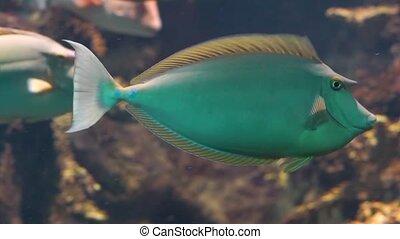 Bluespine unicorn fish in closeup, popular aquarium pet, tropical fish specie from the indo-pacific ocean