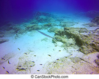 A bluespotted cornetfish (Fistularia commersonii) spotted in the Mediterranean sea. The smooth flutemouth is distinct for its vertically flattened long body, whiplike tail silver, blue stripes on the back and tubular snout.