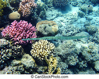 Bluespotted cornetfish and coral reef in Red sea