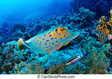 Bluespotted ribbontail ray (Taeniura lymma) swim in the Red Sea, Egypt.