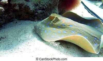 bluespotted, ribbontail, stingray, in het rood, sea.