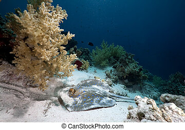 Bluespotted stingray in the Red Sea