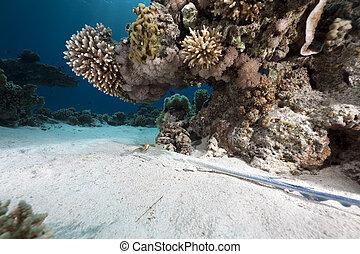 bluespotted stingray, océano