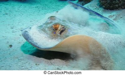 Bluespotted stingray Taeniura lymma on the sandy bottom of...