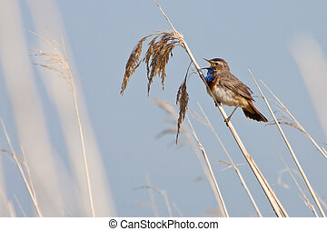 Bluethroat bird in the reed