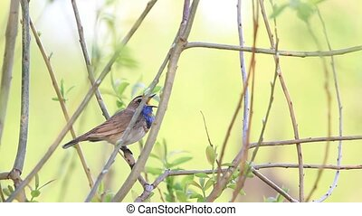 bluethroat, chanson, printemps, séance, buisson, chant