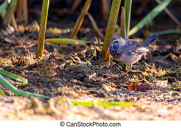 Bluethroat or Luscinia svecica. The beautiful bird sings a spring song in the wild nature. Wild bird in a natural habitat. Wildlife Photography.