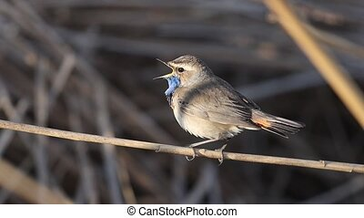 bluethroat singing among the reeds slow motion , beautiful pictures