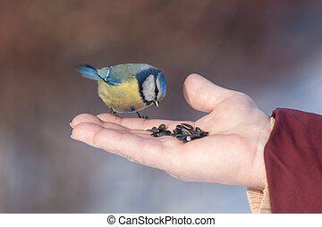 Bluetit eating seeds from the palm of the person