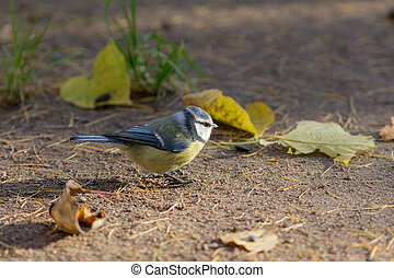 bluetit on the ground