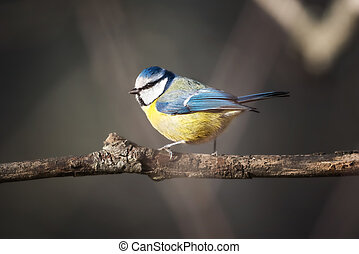 Bluetit (Parus caeruleus) perched on a branch ready to fly