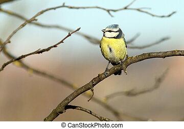 bluetit perched in tree