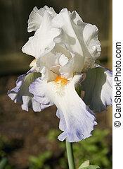 Blue&White Bearded Iris
