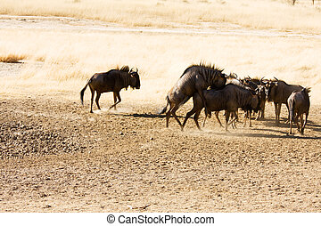 Bluewildebeest mating in the Kgalagadi - Herd of...