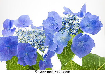 Bluish purple hydrangea