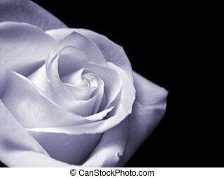 Bluish rose bloom isolated on black