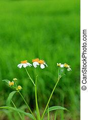 blume, blume, kleingarten, ruhm, morgen