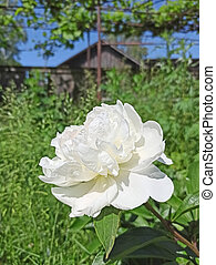 blume, juni, blühen, weißes, pfingstrose, garden.