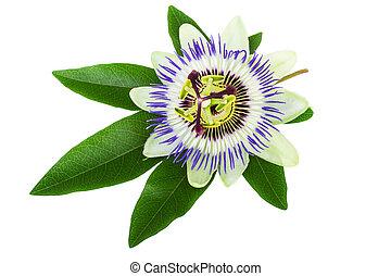 blume, leidenschaft, (passiflora)