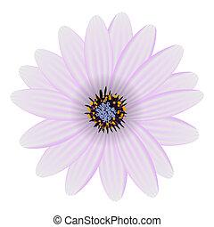 blume, lila, freigestellt, abbildung, vektor, weißes
