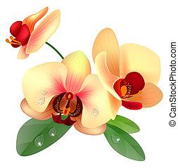 blume, orchidee