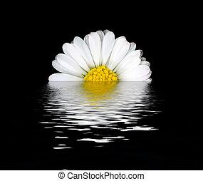 blume, reflexion, gänseblumen