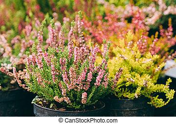 blume- speicher, calluna, pflanze, busch, markt, topf, rosa