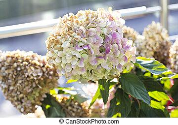 blume, vergehen, flower., hortensie, herbst