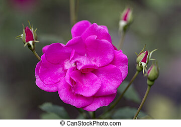 rosa gro blumengarten hortensie busch bl hen. Black Bedroom Furniture Sets. Home Design Ideas