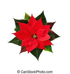 blume, weihnachten, poinsettia