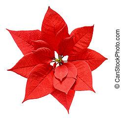 blume, weihnachten, poinsettia, rotes