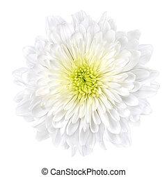 blume, zentrieren, freigestellt, gelber , crysantheme, weißes