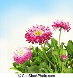 blumen-, blühen meßliebchen, umrandungen