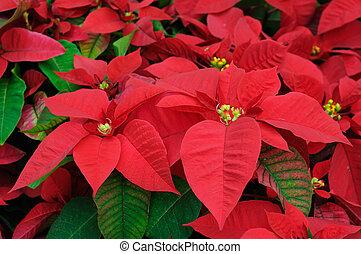 blumen, closeup, roter weihnachtsstern