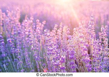 blumen, frankreich, provence, lavender., sunset., lavendel, aus, lila, schein, büsche, gebiet, sonnenuntergang, closeup