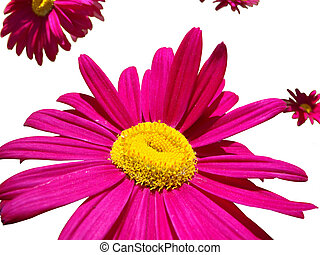 blumen, helles rosa, freigestellt
