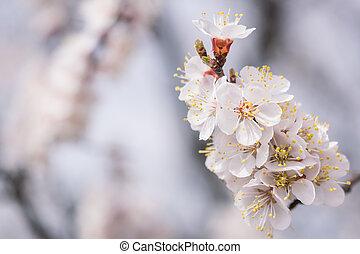 Blumen-, kirschen, blumen, weich, hintergrund