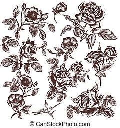 blumen, sammlung, vektor, hand, gezeichnet, rose