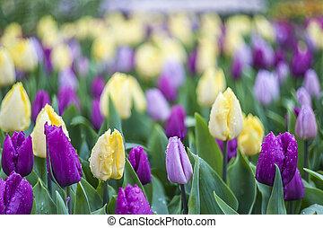 Blumen-, tulpenblüte, weich, hintergrund