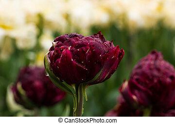 blumenbeet, mit, pvinous, tulpen, (tulipa), in, springen zeit