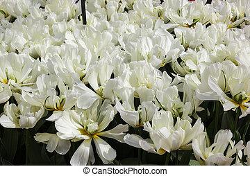 blumenbeet, mit, weißes, tulpen, (tulipa), in, springen zeit
