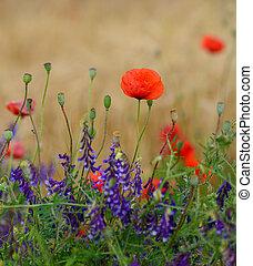 blumengarten, sonnenlicht, morgen, mohnblumen, wild