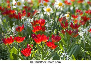 blumenwiese, tulpen